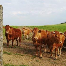 Vaches d'Aveyron et du Ségala (c) StrawberryBlonde